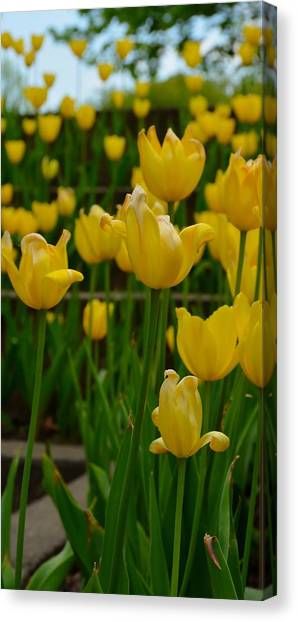 Grouping Of Yellow Tulips Canvas Print