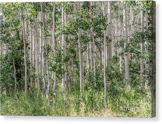 Grove Of Quaking Aspen Aka Quakies Canvas Print
