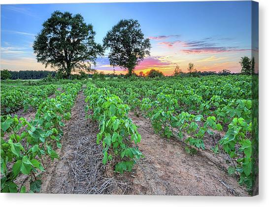 Growing Cotton Canvas Print by JC Findley