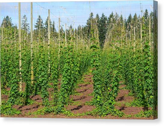 Growing Hops Canvas Print