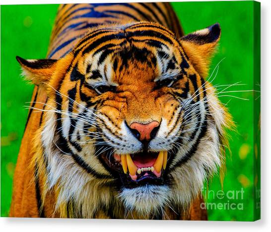 Growling Tiger Canvas Print