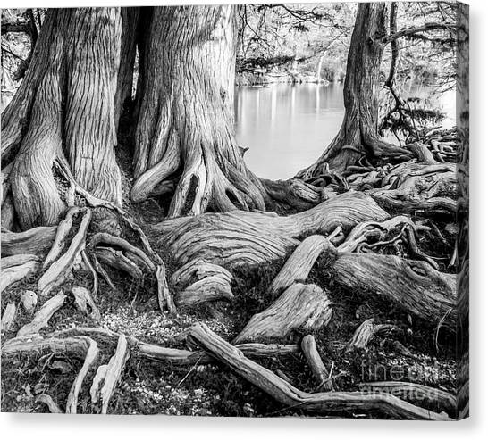Guadalupe Bald Cypress In Black And White Canvas Print