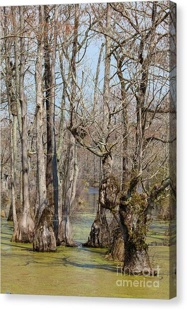 Great Dismal Canvas Print - Guardians Of The Cypress Swamp by Dan Carmichael