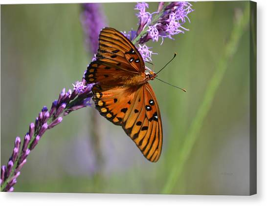 Gulf Fritillary Butterfly On Liatris Canvas Print