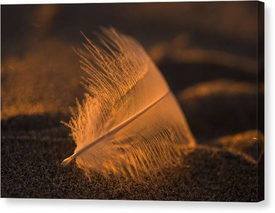 Gull Feather At Sunset Canvas Print