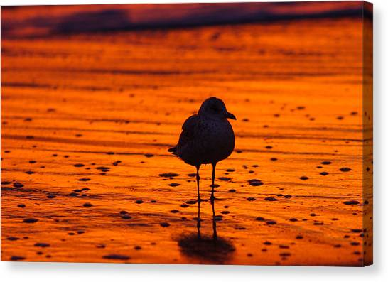 Gull Caught At Sunrise Canvas Print