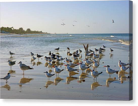 Gulls And Terns On The Sanbar At Lowdermilk Park Beach Canvas Print