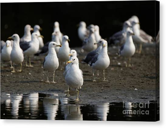 Gulls At The Beach Canvas Print