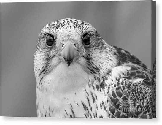 Gyr Falcon Portrait In Black And White Canvas Print