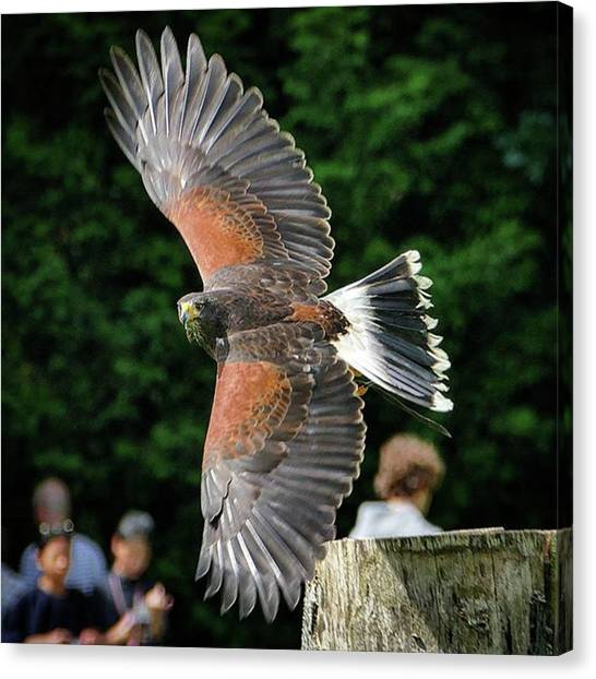 Hawks Canvas Print - ~h A R R I S H A W K~  #rsa_rural by Lee Harris