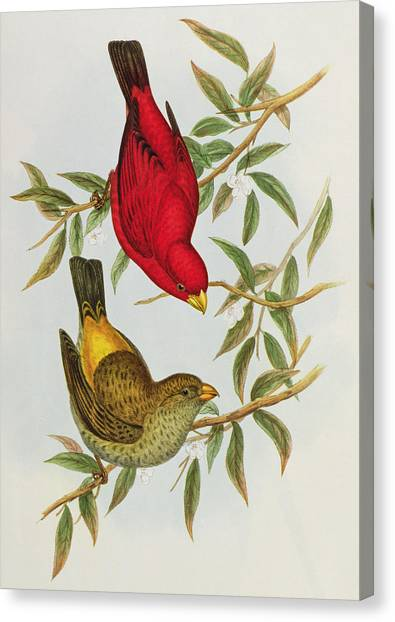 Finches Canvas Print - Haematospiza Sipahi by John Gould