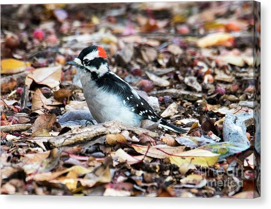 Woodpeckers Canvas Print - Hairy Woodpecker by Mike Dawson
