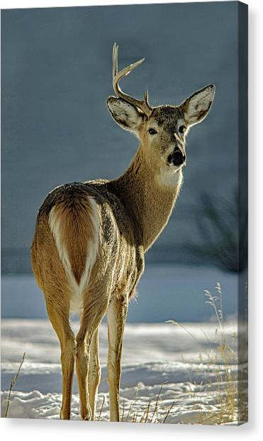 Half A Buck Canvas Print