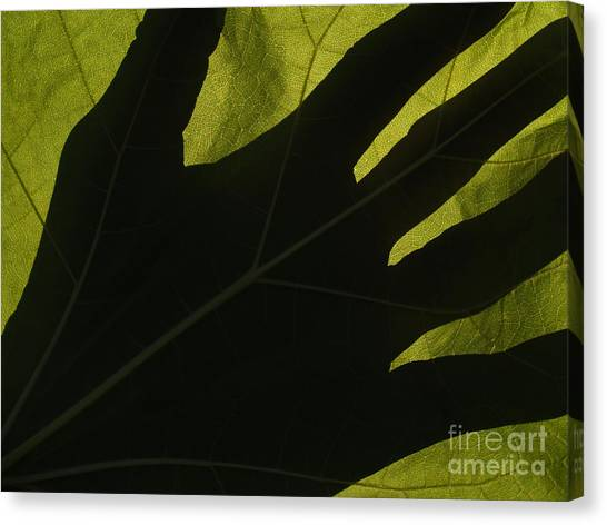 Hand And Catalpa Veins Backlit Canvas Print by Anna Lisa Yoder