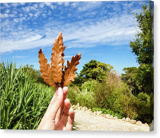 Hand Holding A Beautiful Oak Leaf Canvas Print