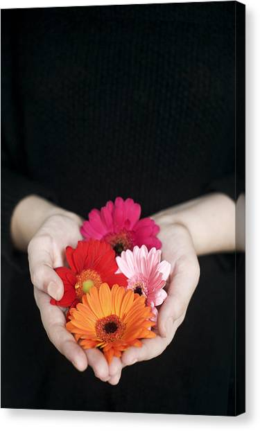 Hands Holding Colorful Gerbera Daisies  Canvas Print