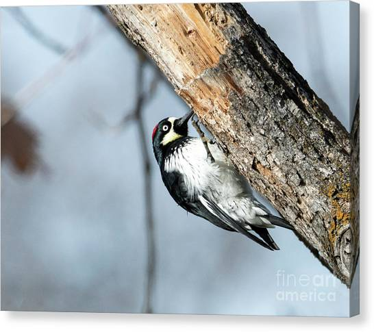 Woodpeckers Canvas Print - Hang On by Mike Dawson