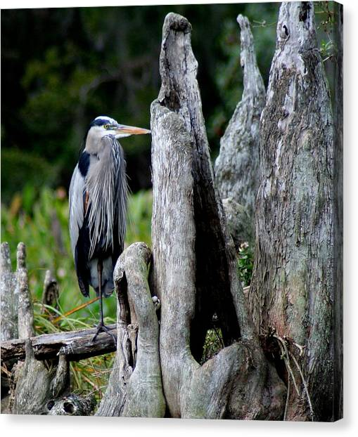 Great Cypress Canvas Print - Hangin In The Cypress Knees by Lisa Scott