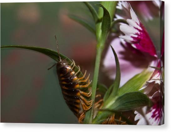 Millipedes Canvas Print - Hanging On Hanging In There by Douglas Barnett