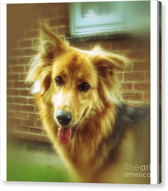 Gsd Canvas Print - #hannah #dogs #dogscorner #happy_pet by Abbie Shores