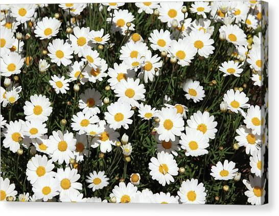 Daisy Canvas Print - Happy Daisies- Photography By Linda Woods by Linda Woods