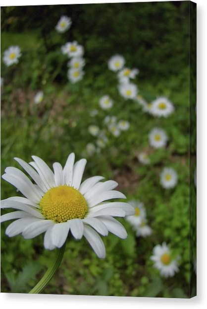 Happy Daisy Canvas Print by JAMART Photography