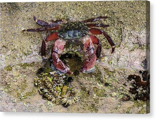 Happy Little Crab Canvas Print