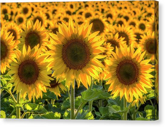 Sunflower Seeds Canvas Print - Happy by Mark Kiver