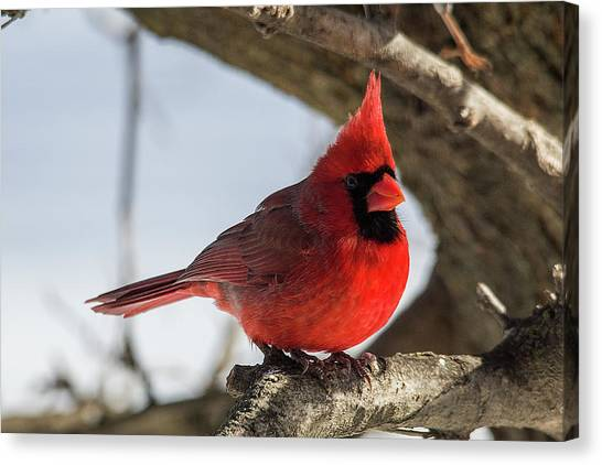 Happy Mister Cardinal Canvas Print