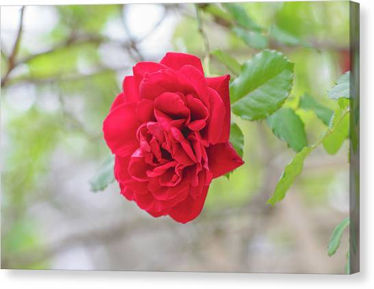 Canvas Print featuring the photograph Happy Red Flower by Raphael Lopez