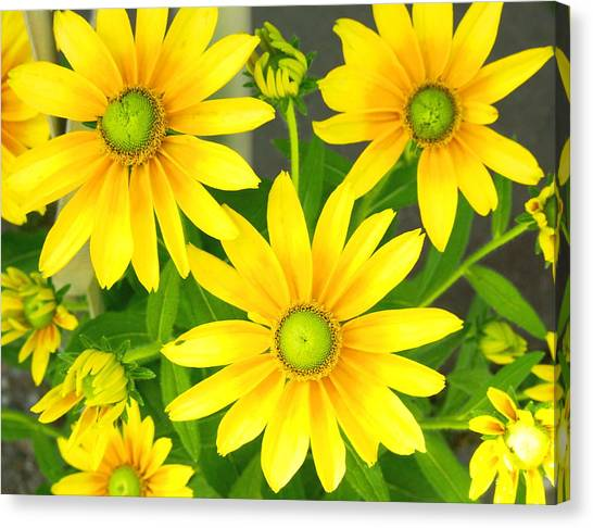 Happy Yellow Summer Cone Flowers In The Garden Canvas Print