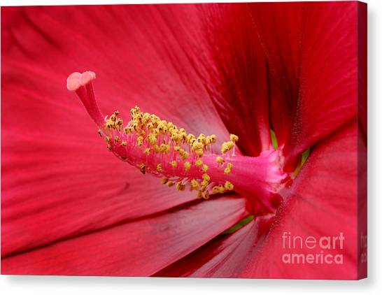 Hardy Hibiscus Canvas Print by Jeannie Burleson