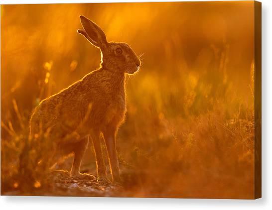 Hare At Dusk Canvas Print