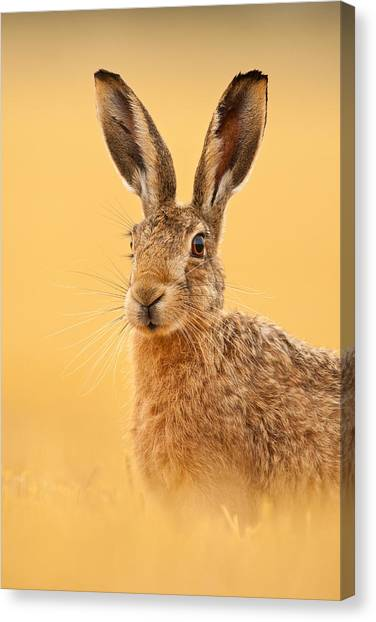 Hare In Barley Stubble Canvas Print