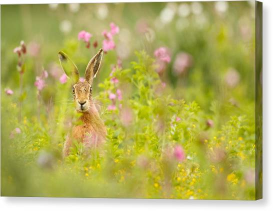 Hare In Campion Canvas Print