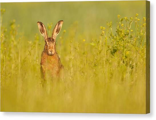 Hare In Mustard Crop Canvas Print