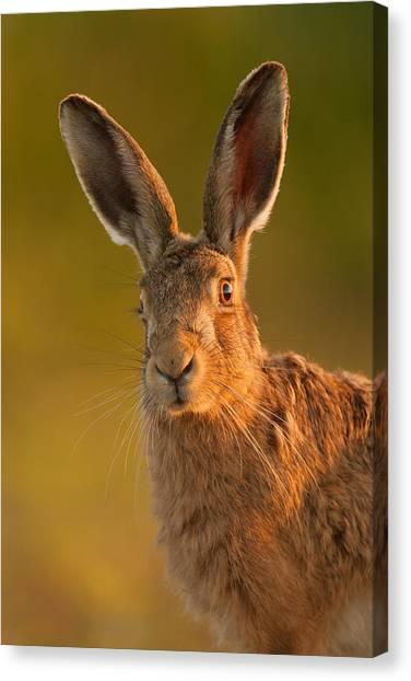 Hare Portrait Canvas Print