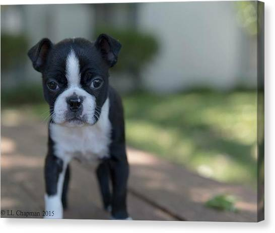 Harley As A Puppy Canvas Print