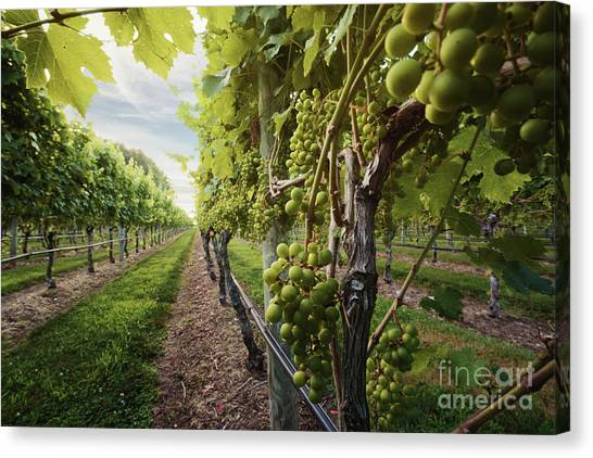 Harmony Vineyard Stony Brook New York Canvas Print