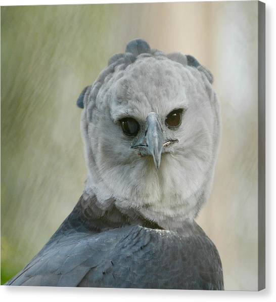 Harpy Eagle Canvas Print - Harpy by Fraida Gutovich