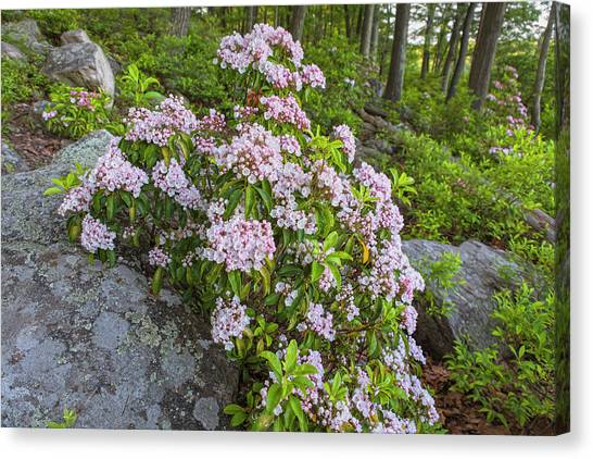Harriman Pink And White Mountain Laurel Canvas Print