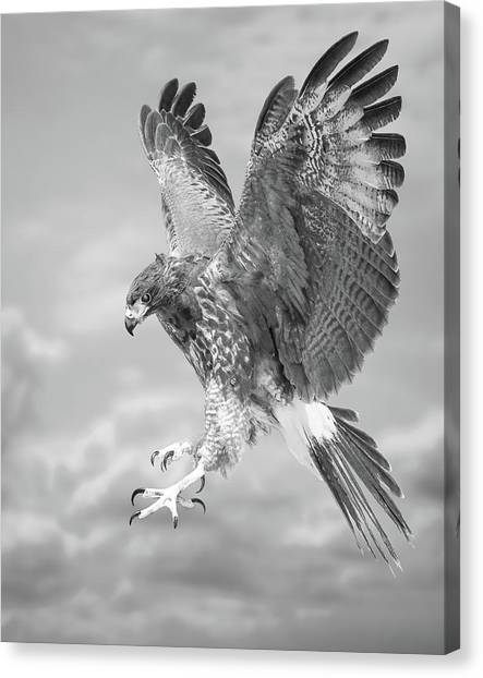 Harris's Hawk Canvas Print