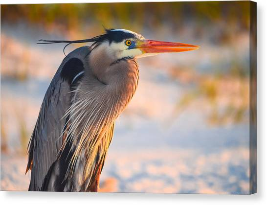Harry The Heron With Plumage Close-up Canvas Print