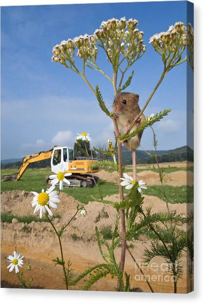Backhoes Canvas Print - Harvest Mouse And Backhoe by Jean-Louis Klein & Marie-Luce Hubert