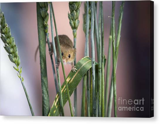 Harvest Mouse In Grass Canvas Print by Philip Pound