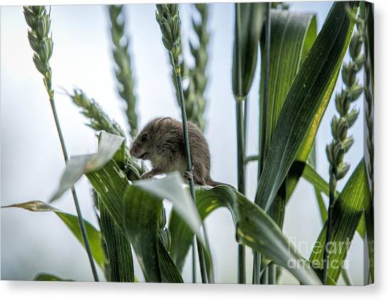 Harvest Mouse On Stalks Of Grass Canvas Print by Philip Pound