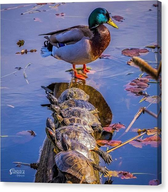Turtles Canvas Print - Have You Heard The Story About The Duck by Ken Stanback