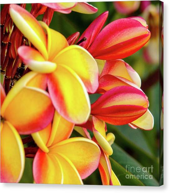 Canvas Print featuring the photograph Hawaii Plumeria Flowers In Bloom by D Davila