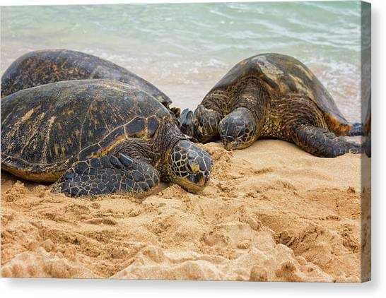 Seagrass Canvas Print - Hawaiian Green Sea Turtles 1 - Oahu Hawaii by Brian Harig