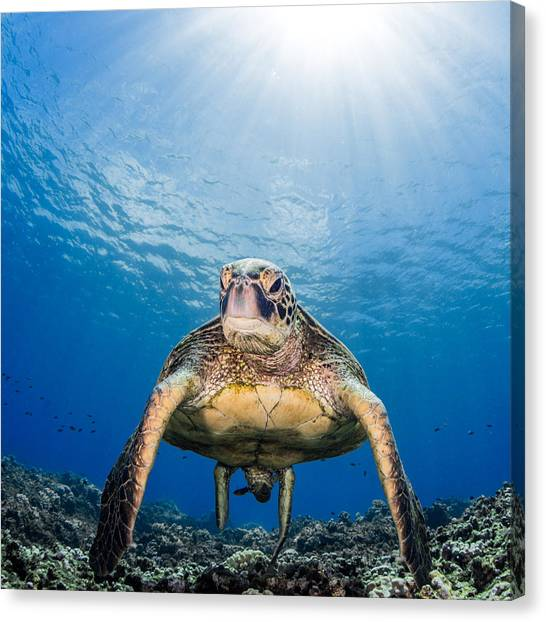 Hawaiian Turtle Canvas Print
